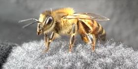 Comment se débarrasser des abeilles anthophila