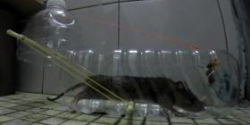 Comment se débarrasser des rats rattus