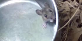 Comment se débarrasser des souris mus