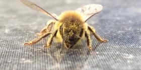 Informations sur les abeilles anthophila