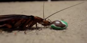 Informations sur les blattes américaine periplaneta americana