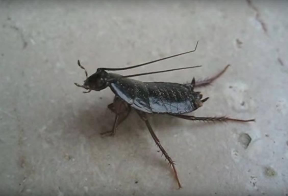 Blatte De Cuisine Photo les blattes orientales, tout ce que vous devez savoir sur