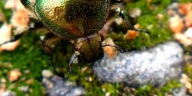Informations sur les coléoptères coleoptera