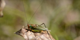 Informations sur les grillons gryllidae
