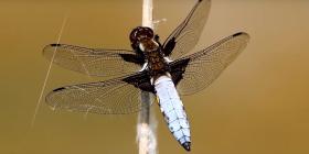 Informations sur les libellules anisoptera