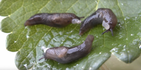 Informations sur les limaces gastropoda