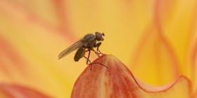 Informations sur les mouches du vinaigre drosophila melanogaster