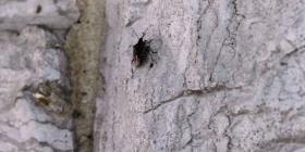 Informations sur les punaises diaboliques pentatomidae