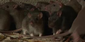 Informations sur les souris mus