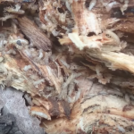 Informations sur les termites isoptera