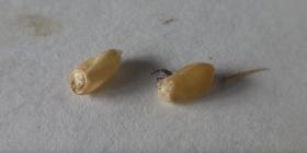 Prévenir l'infestation de charançons de grains sitophilus granarius