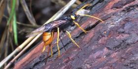 Prévenir l'infestation de guêpes de bois siricidae