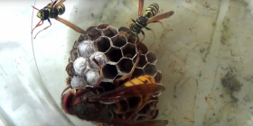 Prévenir l'infestation de guêpes vespula germanica