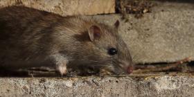 Prévenir l'infestation de rats rattus
