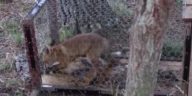 Prévenir l'infestation de renards vulpes