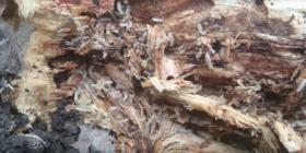 Prévenir l'infestation de termites isoptera