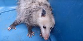 Prévenir l'infestation d'opossums didelphimorphia