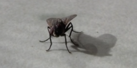 Informations sur les mouches diptera