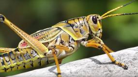 Comment se debarrasser des sauterelles caelifera