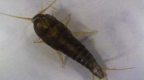 Informations sur les poissons-dargent lepisma saccharina
