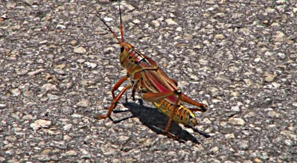 Informations sur les sauterelles caelifera