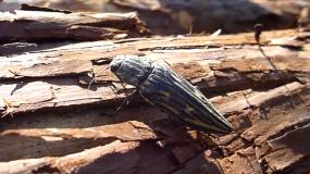 Informations sur les vrillettes heterobostrychus aequalis
