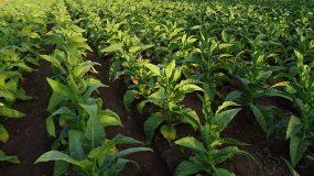 tabac nicotiana tabacum traitements plus courantes maladies ravageurs plante technique