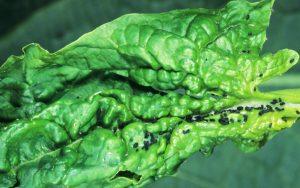 betterave beta vulgaris puceron noir de la fève