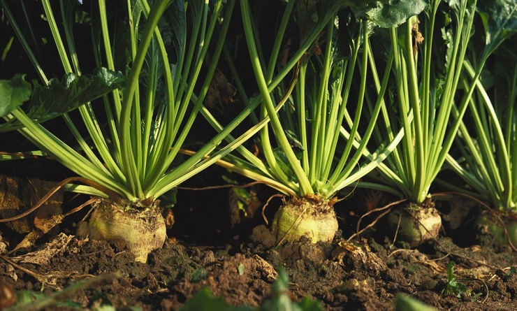 betterave beta vulgaris traitements plus courantes maladies ravageurs plante technique