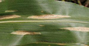 sorgho sorghum bicolor Drechslera sorghicola