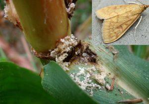 sorgho sorghum bicolor pyrale du maïs