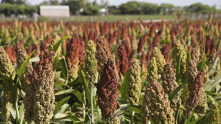 sorgho sorghum bicolor traitements plus courantes maladies ravageurs plante technique