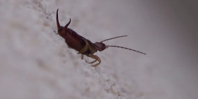 earwigs dermaptera prevent-infestation with