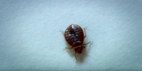 bed bugs cimex lectularius information about