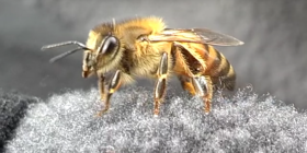 bees anthophila how to get rid of