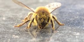 bees anthophila information about