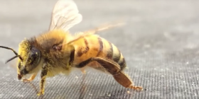 bees anthophila prevent infestation with