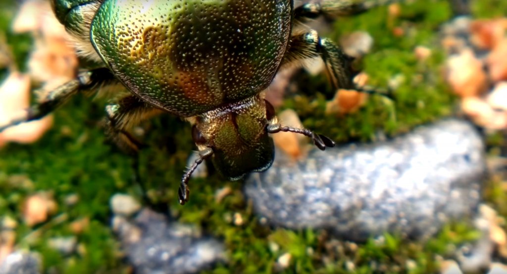 beetles coleoptera information about
