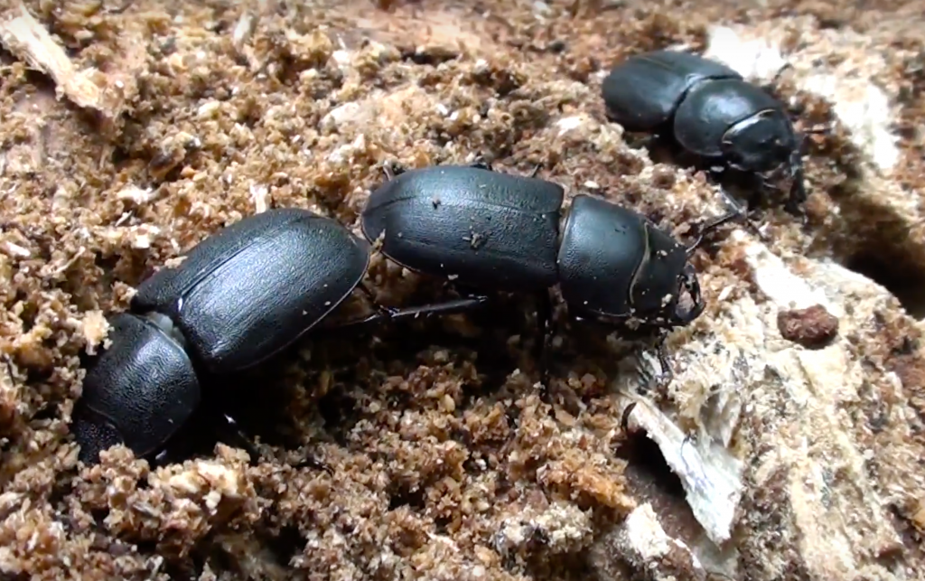 beetles coleoptera prevent infestation with