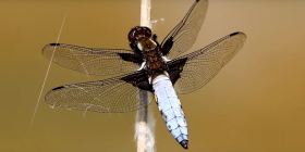 dragonflies anisoptera information about