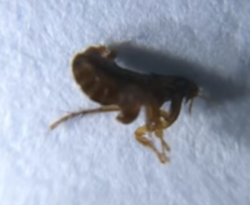 How To Get Rid Of Fleas Kill Siphonaptera Pests Methods