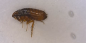 fleas siphonaptera prevent infestation with