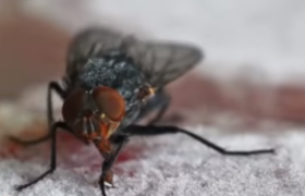 flies house diptera how to get rid of