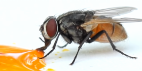 flies house diptera information about