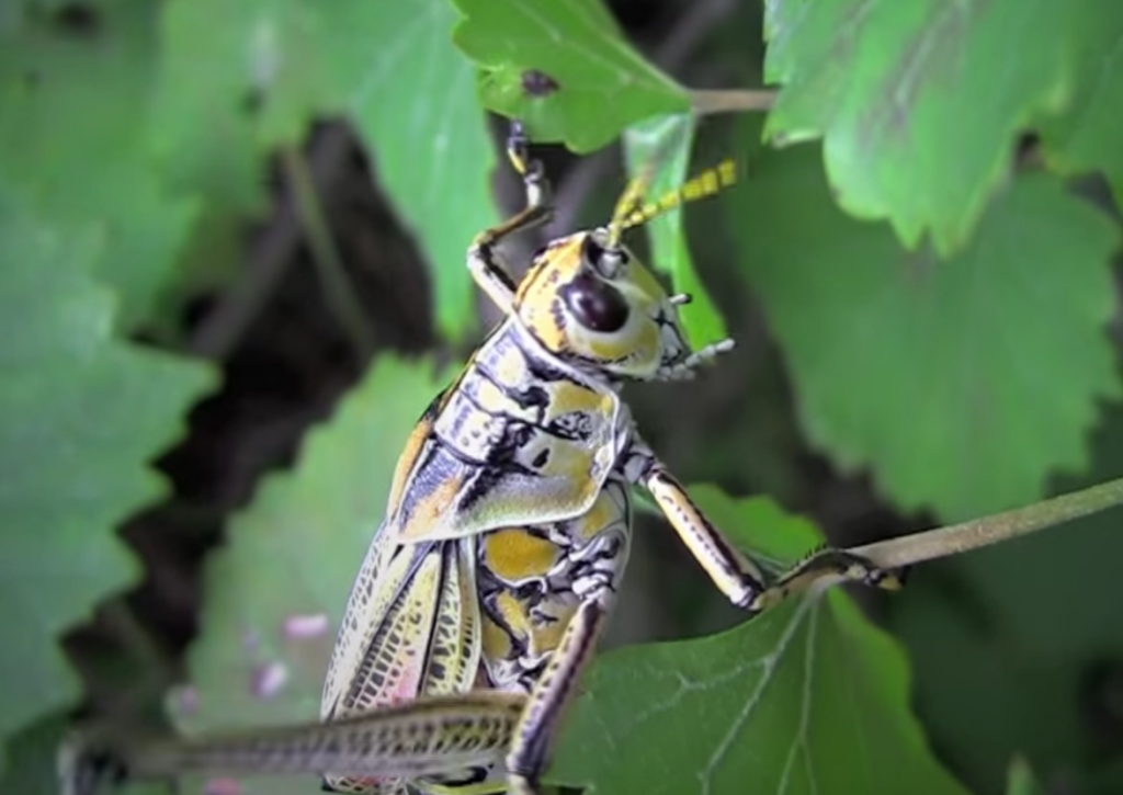 grasshoppers caelifera how to get rid of