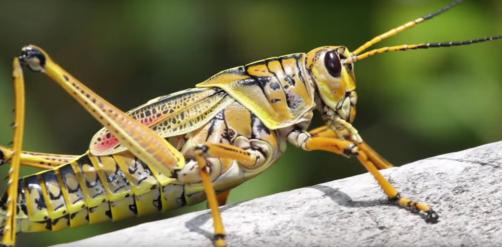 grasshoppers caelifera prevent infestation with