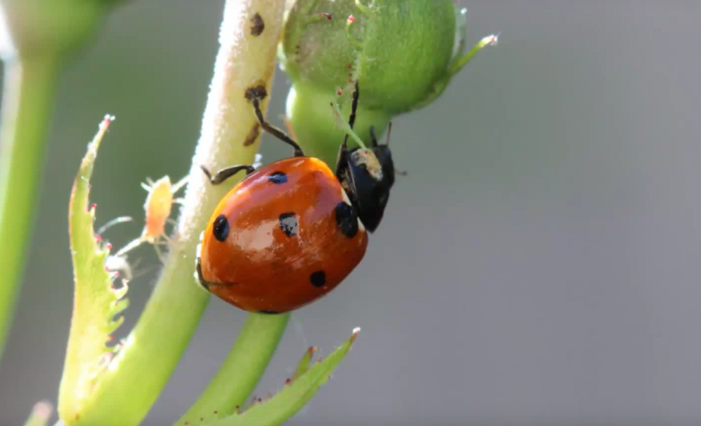 ladybugs coccinellidae information about