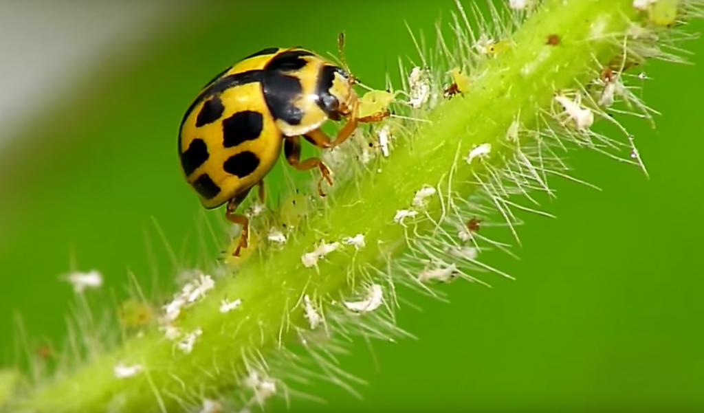 ladybugs coccinellidae prevent infestation with
