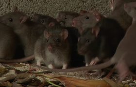 mice mus prevent infestation with