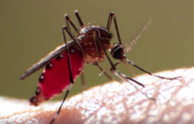 mosquitoes culicidae information about